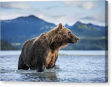 Coastal Brown Bear  Ursus Arctos Canvas Print by Paul Souders