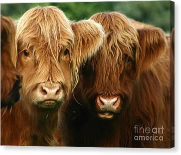 Highland Cattle Canvas Print by Angel  Tarantella