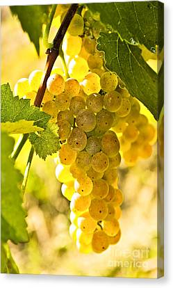 Yellow Grapes Canvas Print by Elena Elisseeva