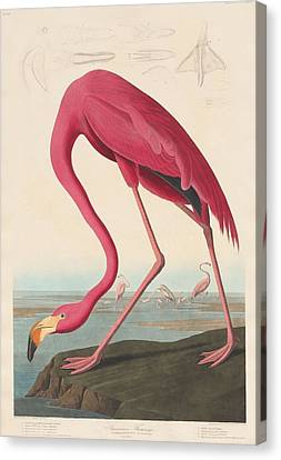 American Flamingo Canvas Print by John James Audubon