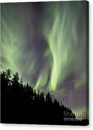 Aurora Borealis Over Trees, Yukon Canvas Print by Jonathan Tucker
