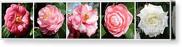 5 Camellias Collage Canvas Print by Carol Groenen