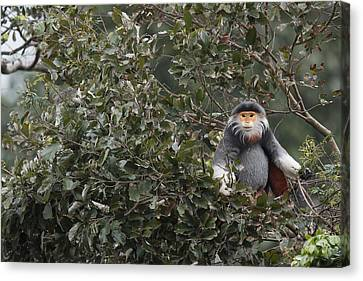 Douc Langur In Treetop Canvas Print by Cyril Ruoso