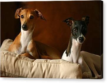 Italian Greyhounds Canvas Print by Angela Rath