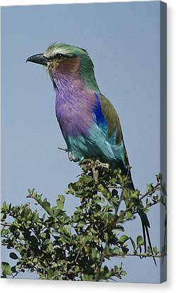 Lilac-breasted Roller Canvas Print by Michele Burgess