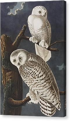Snowy Owl Canvas Print by John James Audubon