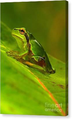 Tree Frog Canvas Print by Odon Czintos