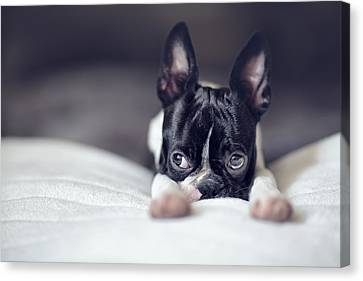 Boston Terrier Puppy Canvas Print by Nailia Schwarz