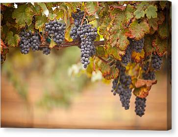 Grapes On The Vine Canvas Print by Andy Dean