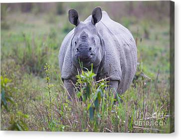 Indian Rhinoceros, India Canvas Print by B. G. Thomson