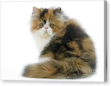 Persian Cat Canvas Print by Jean-Michel Labat