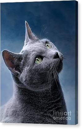 Russian Blue Cat Canvas Print by Nailia Schwarz