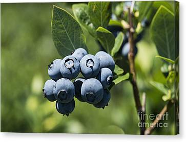 Blueberry Bush Canvas Print by John Greim