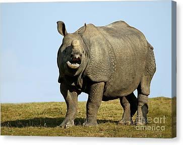 Indian Rhinoceros Rhinoceros Unicornis Canvas Print by Gerard Lacz