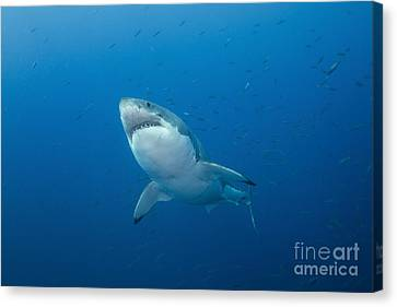 Male Great White Shark, Guadalupe Canvas Print by Todd Winner