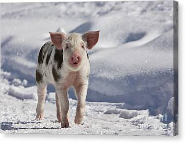 Piglet Walking In Snow Canvas Print by Jean-Louis Klein & Marie-Luce Hubert