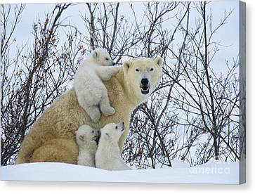 Polar Bear And Cubs Canvas Print by Jean-Louis Klein and Marie-Luce Hubert