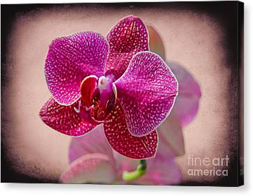 A Beautiful Orchid Canvas Print by Mariola Bitner