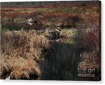 A Beaver's Work Canvas Print by Skip Willits