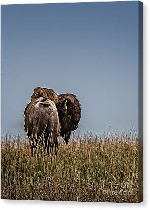 A Bison Interrupted II Canvas Print by Tamyra Ayles
