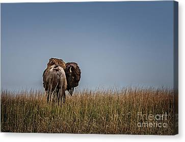 A Bison Interrupted Canvas Print by Tamyra Ayles