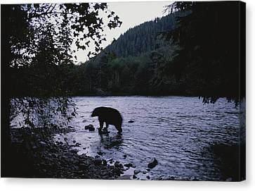 A Black Bear Searches For Sockeye Canvas Print by Joel Sartore
