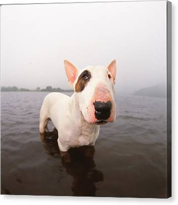 A Bull Terrier In Water Canvas Print by Cica Oyama