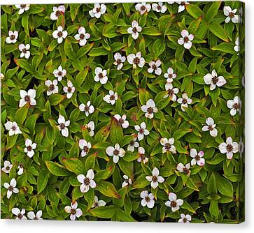 A Bunch Of Bunchberries Canvas Print by Tony Beck