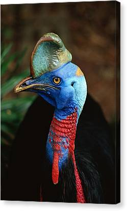 A Close View Of A Cassowary Canvas Print by Tim Laman