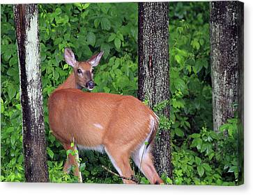 A Doe Within The Trees Canvas Print by Karol Livote