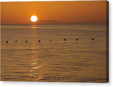A Flock Of Brown Pelicans Flying Low Canvas Print by Ralph Lee Hopkins