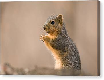 A Fox Squirrel Sciurus Niger Finds Canvas Print by Joel Sartore
