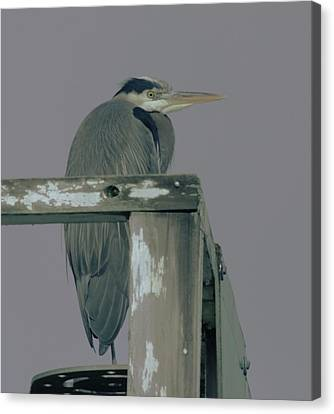 A Heron On Watch  Canvas Print by Jeff Swan