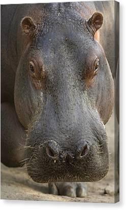 A Hippopotamus At The Sedgwick County Canvas Print by Joel Sartore