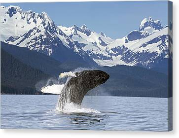 A Humpback Whale Leaps  Breaches Canvas Print by John Hyde