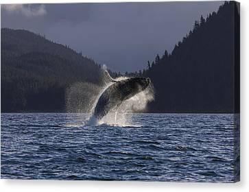 A Humpback Whale Leaps From The Waters Canvas Print by John Hyde