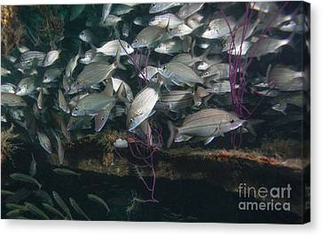 A Large School Of Tomtate Canvas Print by Michael Wood