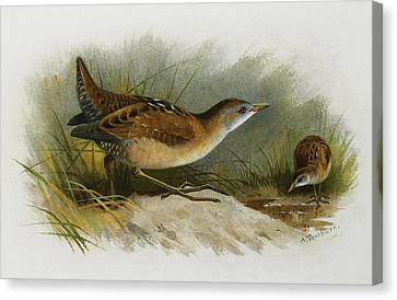A Little Crake Canvas Print by Archibald Thorburn