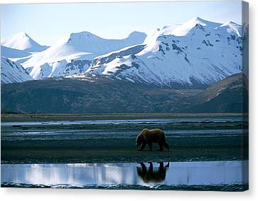 A Lone Grizzly Bear In Katmai National Canvas Print by Joel Sartore