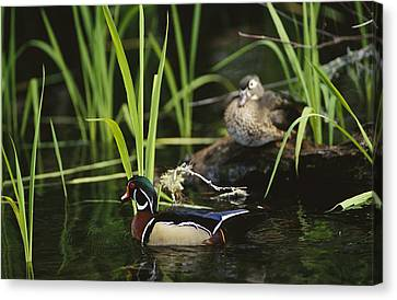 A Male Wood Duck Swims Past Its Mate Canvas Print by Raymond Gehman