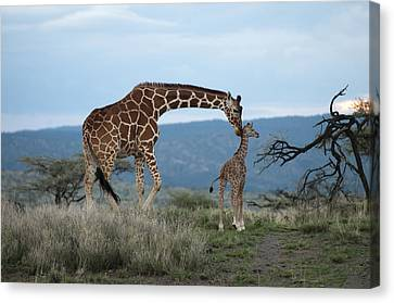 A Mother Giraffe Nuzzles Her Baby Canvas Print by Pete Mcbride