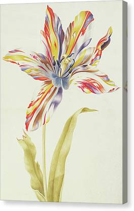 A Multicolored Broken Tulip Canvas Print by Nicolas Robert