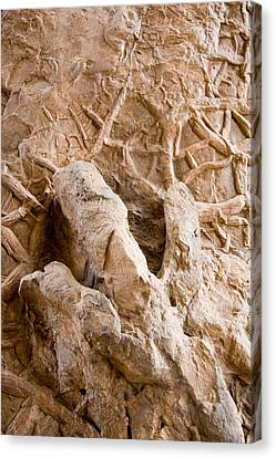 A Petrified Dinosaur Footprint Shown Canvas Print by Taylor S. Kennedy