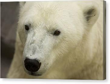 A Polar Bear At The Henry Doorly Zoo Canvas Print by Joel Sartore