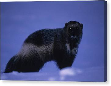 A Portrait Of A Wolverine In The Arctic Canvas Print by Paul Nicklen