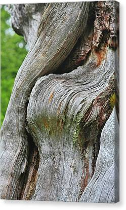 A Remarkable Tree - Duncan Western Red Cedar Olympic National Park Wa Canvas Print by Christine Till
