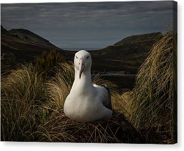 A Royal In Waiting Canvas Print by Doug Gimesy