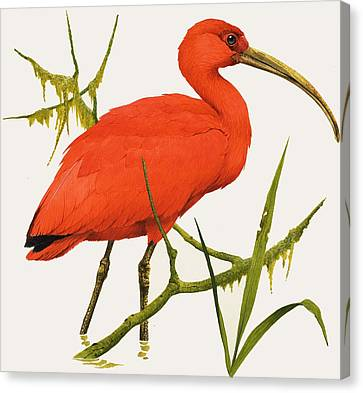 A Scarlet Ibis From South America Canvas Print by Kenneth Lilly