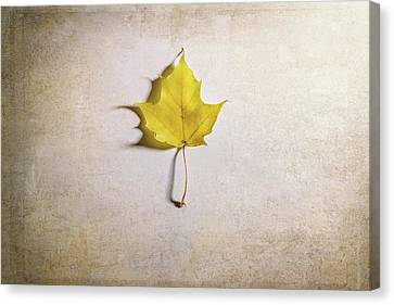 A Single Yellow Maple Leaf Canvas Print by Scott Norris