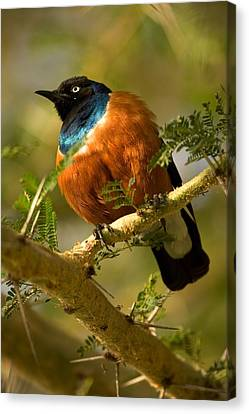 A Superb Starling Perched On An Acacia Canvas Print by Roy Toft
